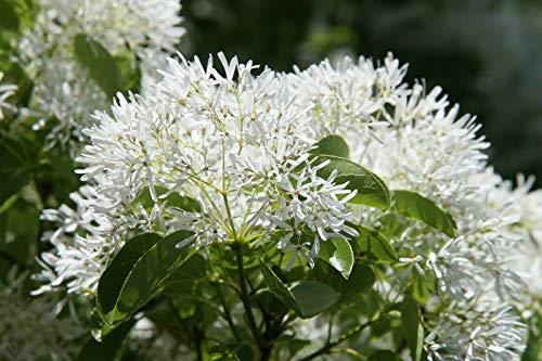 Chinesischer Schneebaum Chionanthus retusus Pflanze 25-30cm Schneeflockenstrauch