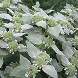 Amerikanische Bergminze - Pycnanthemum pilosum - Mint -...