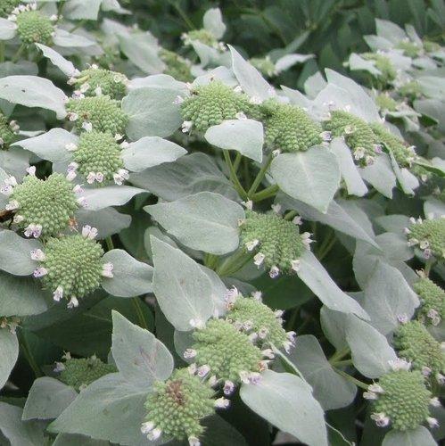 Amerikanische Bergminze - Pycnanthemum pilosum - Mint - Minze - 100 Samen