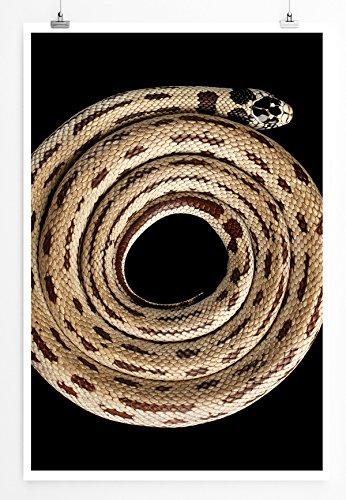 Eau Zone Home Bild - Tierbilder – Eingerollte Gepunktete Königsnatter- Poster Fotodruck in höchster Qualität