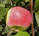 Jakob Fischer Herbstapfel Buschbaum ca. 120-150cm wurzelnackter Apfelbaum Unterlage Sämling