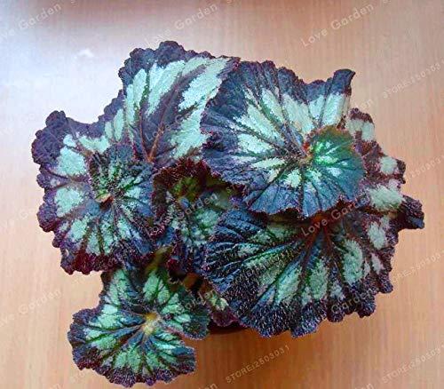 Pinkdose 100 PCS Unique 24 Couleurs Begonia Fleur Cour Balcon Coleus En Pot De Fleur En Pot De Bonsaï, Variété Complète, Le Taux En herbe 95%: 1