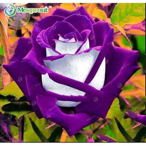 SANHOC 14 Rare Osiria Rose, New Rose Bonsai 100PCS, Chinesische Rose-Blumen-Bonsais: 3