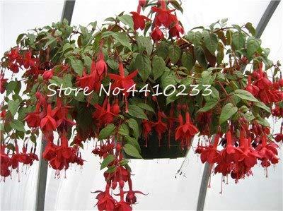 Bloom Green Co. 100 Stück Doppel-Blütenblätter Fuchsia Bonsai Bell-Blumen-Laterne Begonia Topfblumen hängende Pflanzen Semillas De Flores Diy Home Garten: b