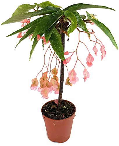 Begonia x Tamaya - die Forellenbegonie als exotisches Stämmchen ist eine außergewöhnliche Zimmerpflanze und ein 'Eyecatcher' auf jedem Fensterbrett - die Begonie ist eine Rarität aus Brasilien