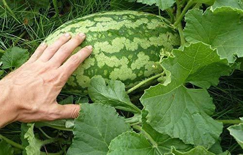 PLAT FIRM GRAINES DE GERMINATION: 25 Graf Carolina Kreuz Riesenwassermelone Samen Süße Frucht-Garten agriculture
