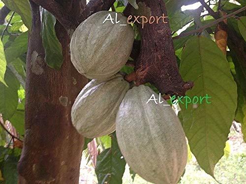 FERRY Bio-Saatgut Nicht nur Pflanzen: Kakao 100 Seeds ~ Theobroma Cacao - EXOTISCHEN ~ Fruit.Fresh germinete Samen