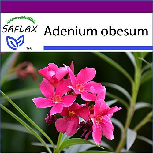 SAFLAX - Big Garden - Sukkulenten - Wüstenrose - 8 Samen - Mit Gewächshaus, Töpfen, Anzuchtsubstrat und Dünger - Adenium obesum