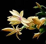 "Yellow Christmas Cactus Plant - Zygocactus - 4"" Pot"