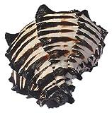 GaoF 1 Pieza de Conchas de Concha Natural Original Cebra Negra Acuario Adorno de pecera DIY Paisaje Artesanal para Boda Playa temática decoración de Fiesta decoración de Concha de Concha