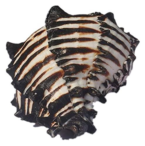 WANGSHAOFENG 1 stück Natürliche Muschel Muscheln Original schwarz Zebra Große Muscheln Aquarium Fisch Tank Ornament DIY Handwerk Sammler Strand Muscheln