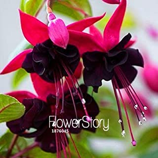 Big Sale!Red Fuchsia Seeds Potted Flower Seeds Potted Plants Hanging Fuchsia Flowers 50 Particles / Bag,#E9A0XR