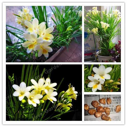 SANHOC 2 Birnen-weiße Freesie Birnen Innentopf Blumen Orchideen, Freesie Rhizome Überlebensrate ist hoch (es ist Nicht Bonsai)