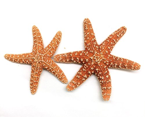 PEPPERLONELY 2PC Orange Natural Sugar Starfish, 4 Inch ~ 5-3/4 Inch