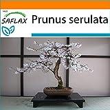 Saflax - cerezo japonés - 30 semillas - con sustrato estéril para cultivo - prunus serulata