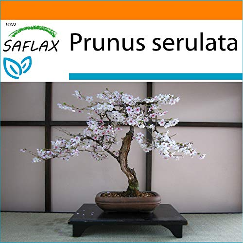 SAFLAX - Cerisier du Japon - 30 graines - Avec substrat - Prunus serulata