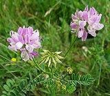 Bunte Kronwicke - Securigera varia - 100 Samen