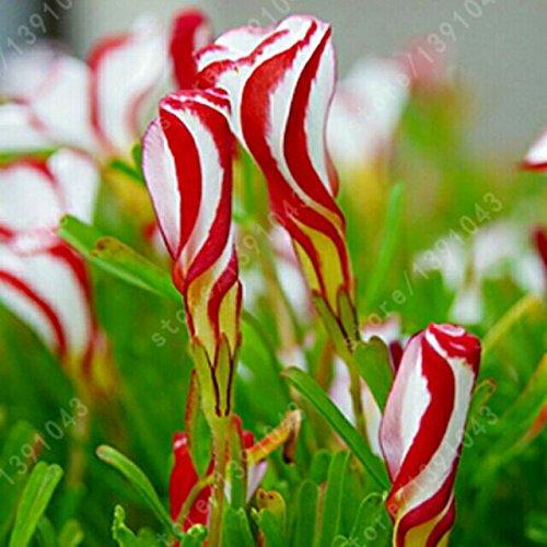 Hot Sale Oxalis versicolor Fleurs de semences du monde Fleurs uniques dans Bonsai Seeds Couleur Rotary Oxalis - 100 PCS