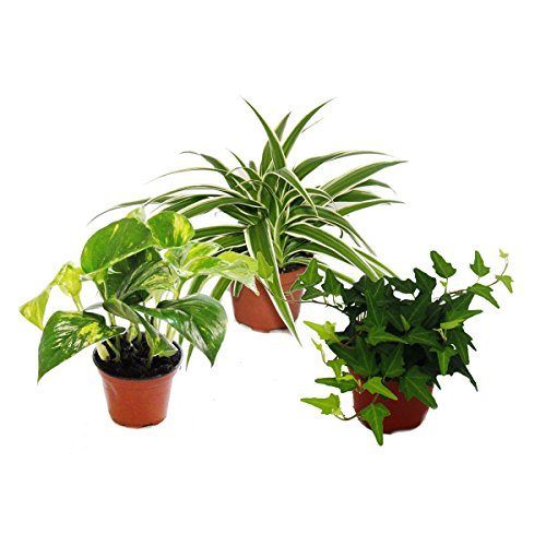 Exotenherz - Rankpflanzen Set fürs Zimmer mit 3 Pflanzen - 9cm