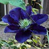 2Pièces ampoules de clématites Real Rare Clematis Kingfisher la fleur de clématite la plus bleue