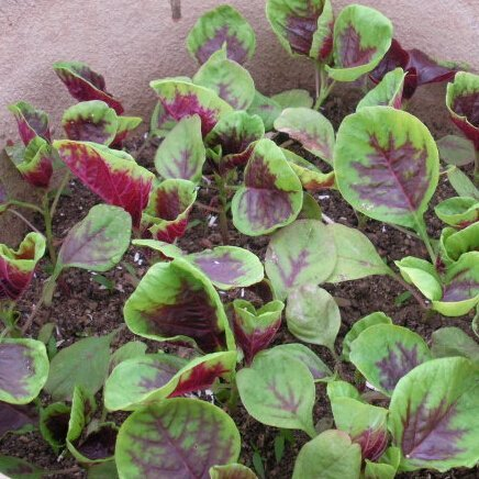 100 graines Red Amaranth Potager Herb Seed épinards chinois Graines