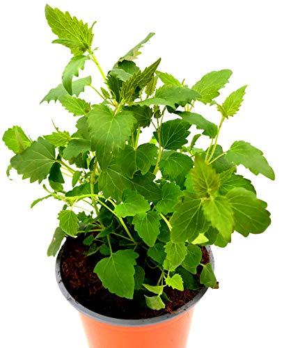 Limonaden Pflanze Agastasche mexicana Kräuter Pflanzen/1 Stk.