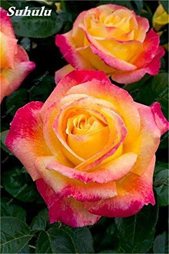 50 Pcs Rose Seeds Graines Rose fleurs Facile à cultiver bricolage jardin Bonsai Plantation jardin Plantons pour Femme Meilleur cadeau d'anniversaire 20