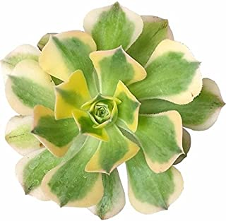 Aeonium Sunburst Variegated Succulent (4 inch)