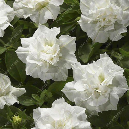 100 pcs/sac à double pétales graines de pétunia graines de fleurs bonsaï fleurs court jardin hauteur des graines de pot de plante d'intérieur ou ourdoor