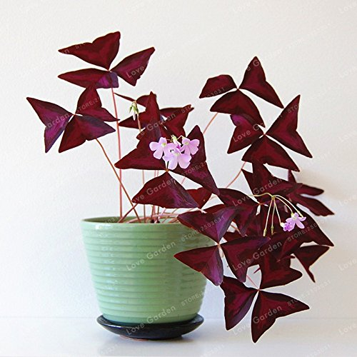 Oxalis Holz Sorrel Blumen Oxalis Lila Kleeblatt-Klee-100% reale Blumen Bonsai Samen Staudenaußen für Hausgarten-100Pcs