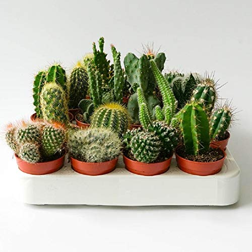 Italy Green Life 6 Cactus Ornamentali Mexico Vaso Diametro 5.5cm Piante Grasse Vere Cactacee con Spine Set di Produzione  Piantine Da Interno, Ufficio, Bomboniere, Scrivania  6 Piante Vere da Interni
