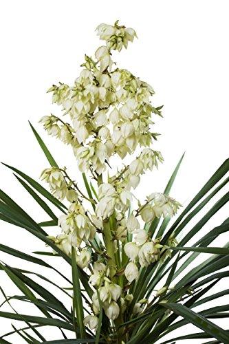 Seifen Palmlilie - Yucca elata - verschiedene Größen (Topf 0,7Ltr.)