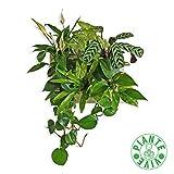 ortisgreen quadro vegetale pronto da appendere con 6 piante da interno. composizione hope con piante che purificano l'aria: spathiphyllum, syngonium, calathea, philodendro, aspelenium, pothos.