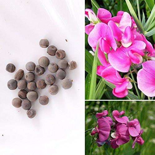Rosepoem 25pcs Rare Sweet Pea Graines Graine pois de senteur parfumée jardin fleurs bio