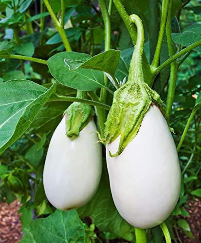AIMADO Samen-50 Pcs Aubergine White Egg Saatgut Bio Gemüse essbaren Früchten, sehr guter milder Geschmack, Kulturzeit 80 Tage