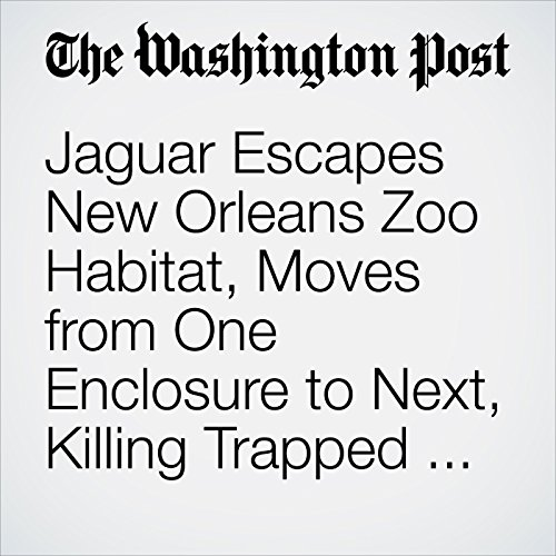 Jaguar Escapes New Orleans Zoo Habitat, Moves from One Enclosure to Next, Killing Trapped Animals copertina