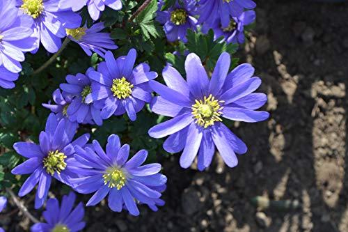 Blumenzwiebeln Anemonenzwiebeln Anemonen blanda Blue Shades (Frühlingsanemone) (50 Zwiebeln)