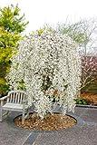 10pcs / sac japonais graines d'arbres sakura bonsaïs, arbres de cerisier pleureur, bricolage jardin graines nain sakura belles graines de fleurs 2