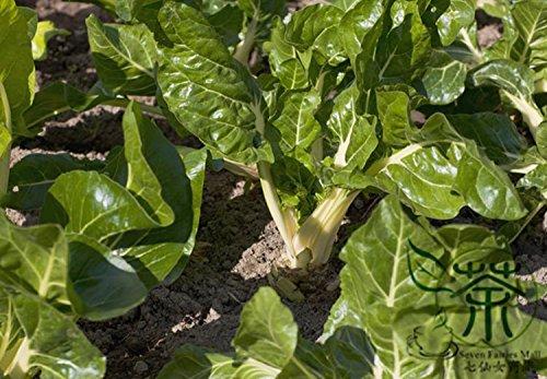 Herbacée bisannuelle Beta Vulgaris Graines 600pcs, Garden Beet Tian Cai feuilles Semences Potagères, Famille Amaranthaceae Sugar Beet Seeds