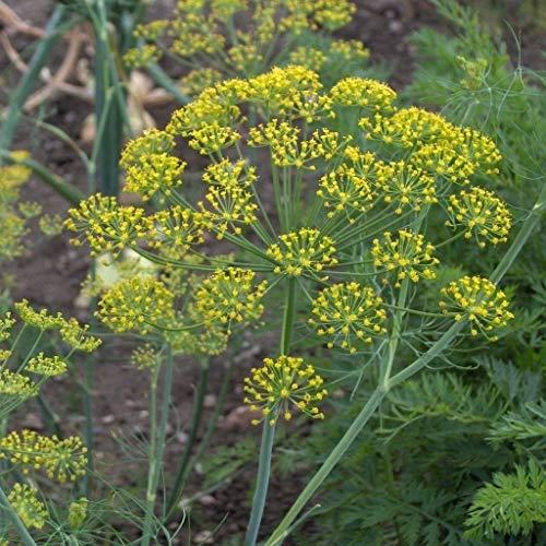 Portal Cool Samen Paket: Dill Hercules Eu Standard-Küche Garten Patio Seeds Uk