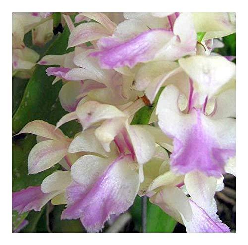 Aerides falcata - orchidée rose - 100 graines