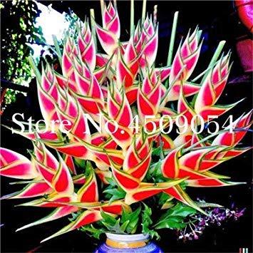 ! Vendita 100 Pz Rare Heliconia Piante commestibili Bellezza commestibili Verdure Cosmetici e Piante da frutto Bonsai Herb Albero per la casa e Giardino: 9