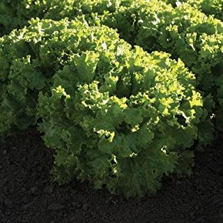 Bergam's Green Organic Lettuce Seeds (Lactuca Sativa) 20+ Rare Seeds + Free Bonus 6 Variety Seed Pack - a $29.95 Value! Packed in FROZEN SEED CAPSULES for Growing Seeds Now or Saving Seeds for Years