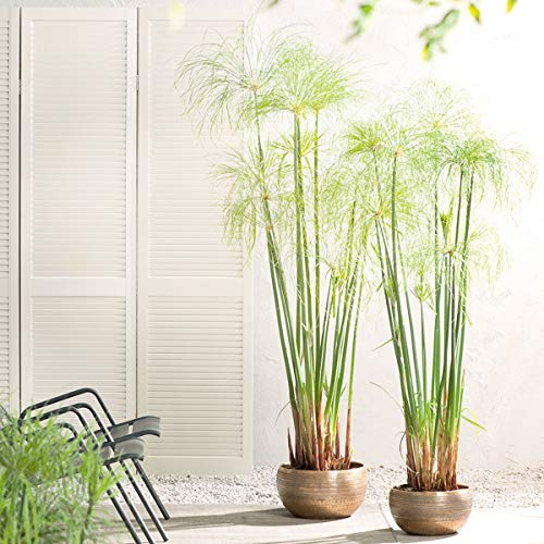 Qulista Samenhaus - Rarität 10pcs Zimmerpflanzen Luftreinigende Pflanzen Blumensamen winterhart mehrjärhig für Kübel auf Balkon und Terrasse