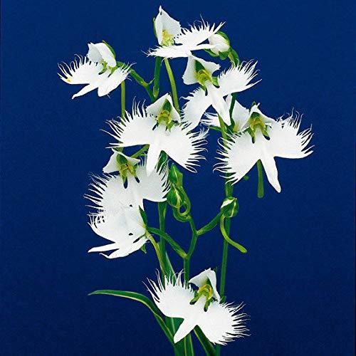 Soteer Garten - Japanische Weiße Vogelblume Samen