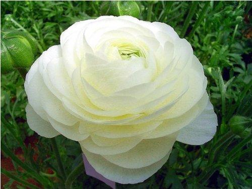 20 PCS / Graines Sac Ranunculus Asiaticus fleur pour Maison & Jardin Bricolage Plantes Persian Buttercup Seed bulbes d'emballage d'origine