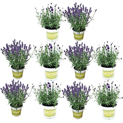 10 Lavendel-Pflanzen im Set (12 cm Ø-Topf): Balkonpflanzen winterhart | Lavendel Pflanze echt | winterharte Stauden | Gartenpflanzen winterhart | Lavendelpflanzen | Staude Kräuterpflanzen