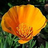 California Poppy Seed Balls - Bulk Seed Balls for Seed Bombing (Eschscholzia californica) (50)
