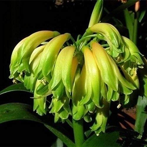 Aerlan Pflanzen für Balkon und Terrasse,Clivia Topfpflanze Innenblumensamen-2 Kapseln_Grün,samen für Hausgarten,Balkon,Terrasse