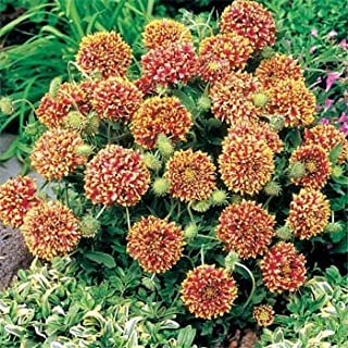 Outsidepride Gaillardia Pulchella Bicolor - 1000 Seeds